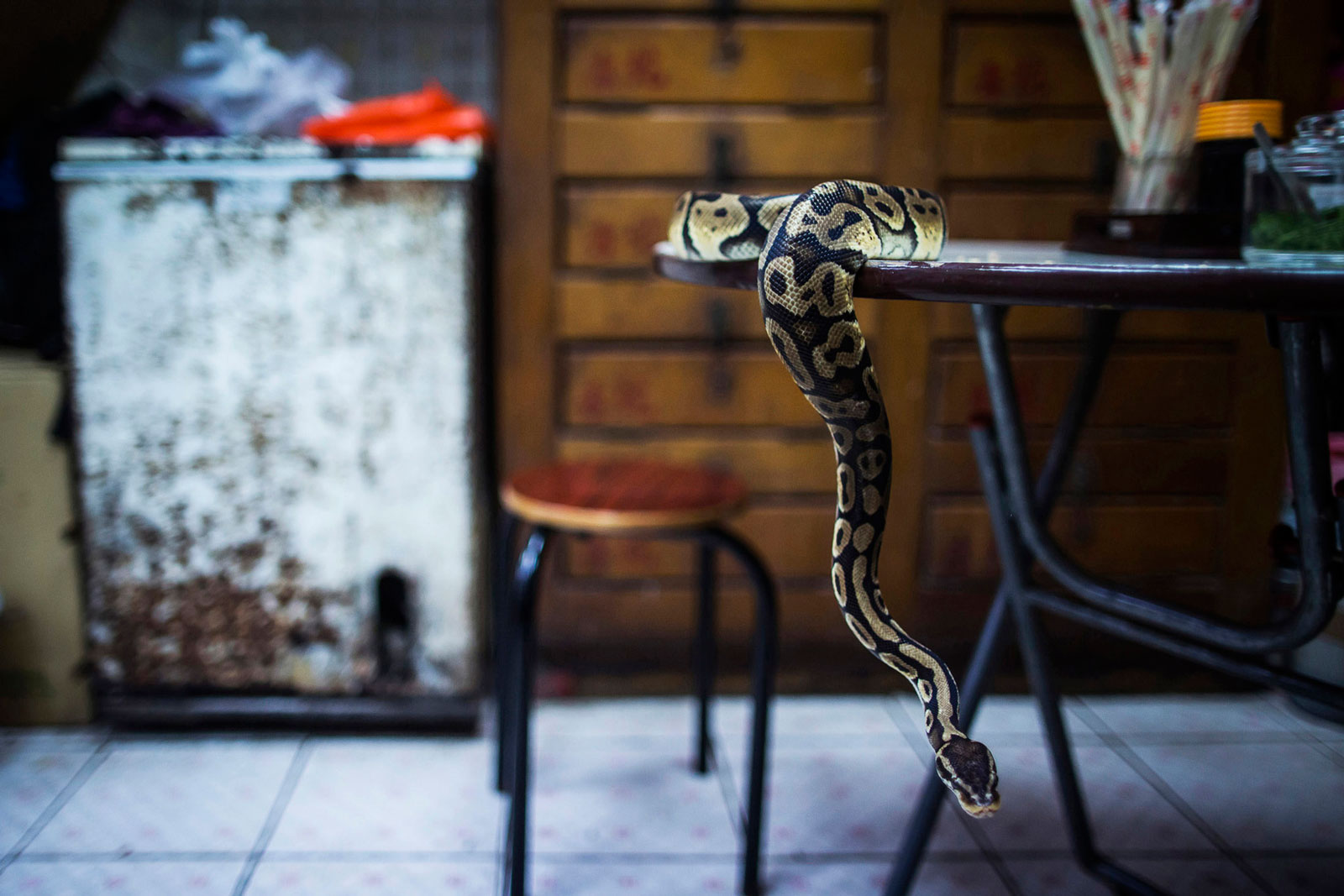The pet python of Chow Ka-ling, owner of the Shia Wong Hip snake restaurant