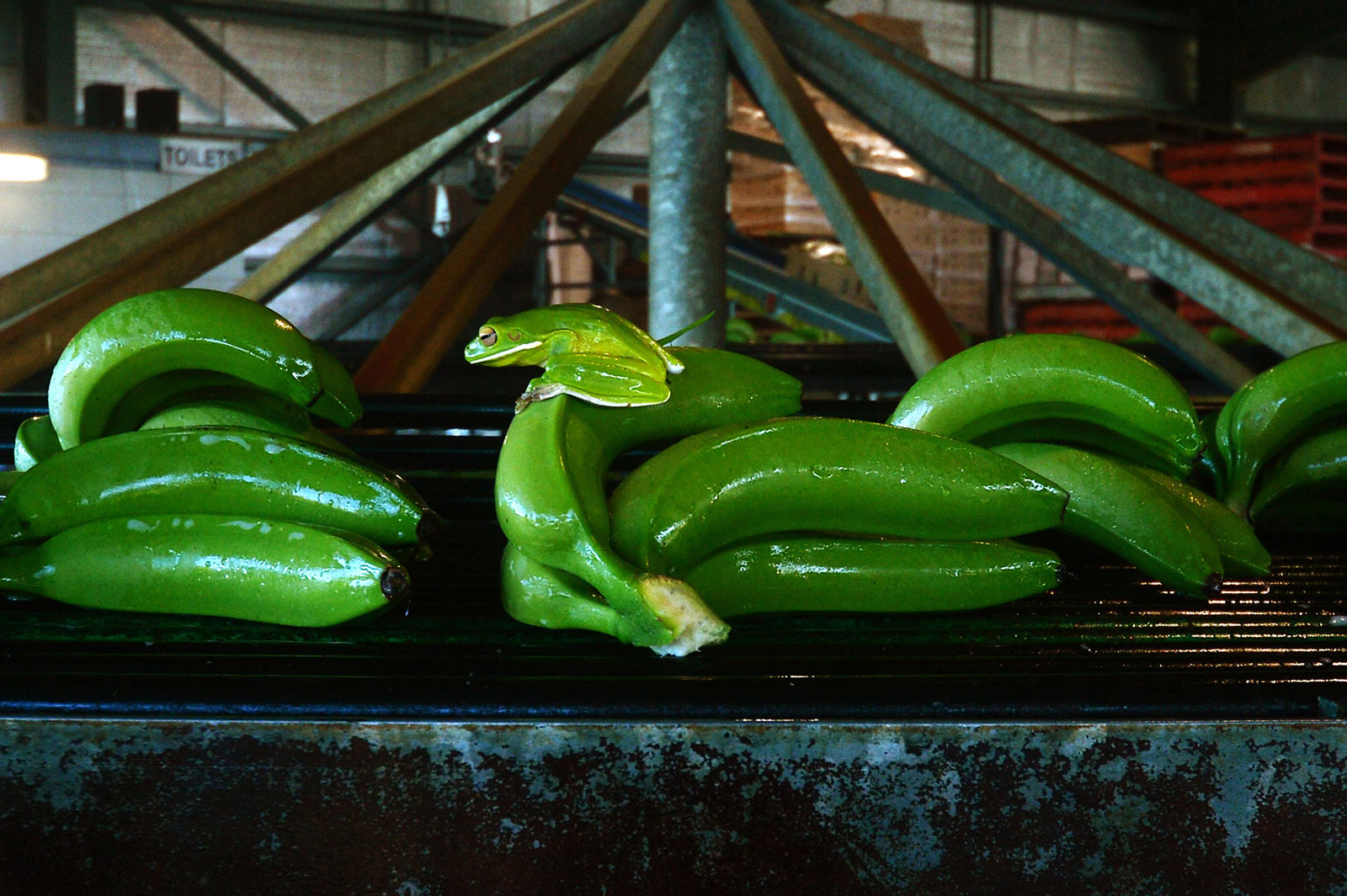 A green frog sits on freshly harvested bananas moving along a conveyor at the Liverpool River Bananas farm near Tully, Queensland, Australia