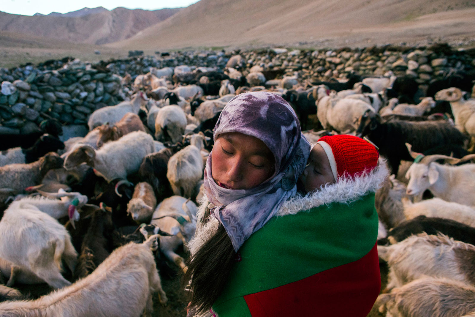 A nomadic woman carries a child on her back through a herd of pashmina goats at their settlement in the valley of Kharnak, Jammu and Kashmir, India