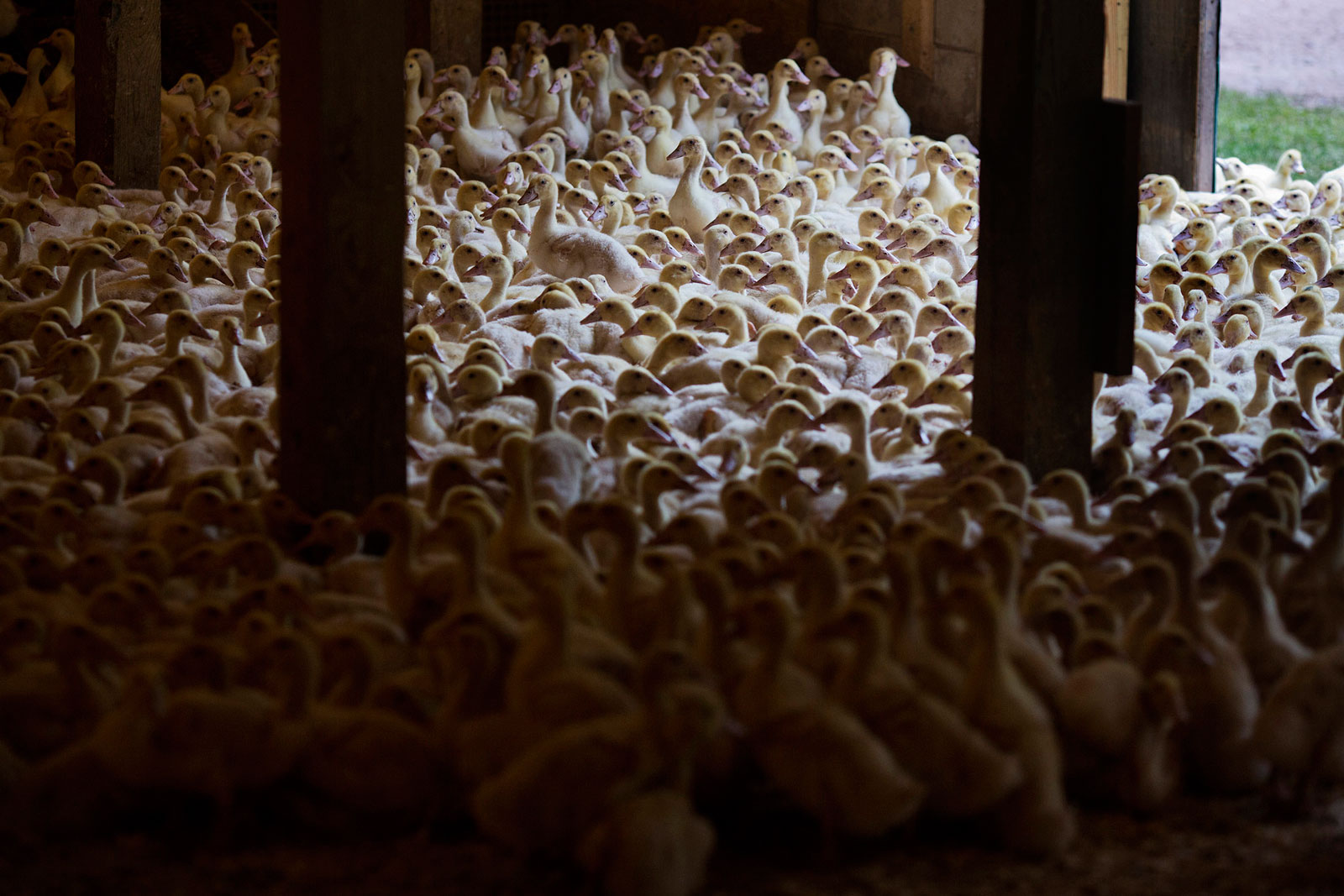 Young Rohan ducks gather in a barn where they are bred for the D'Artagnan specialty meat company in Cochecton, N.Y.