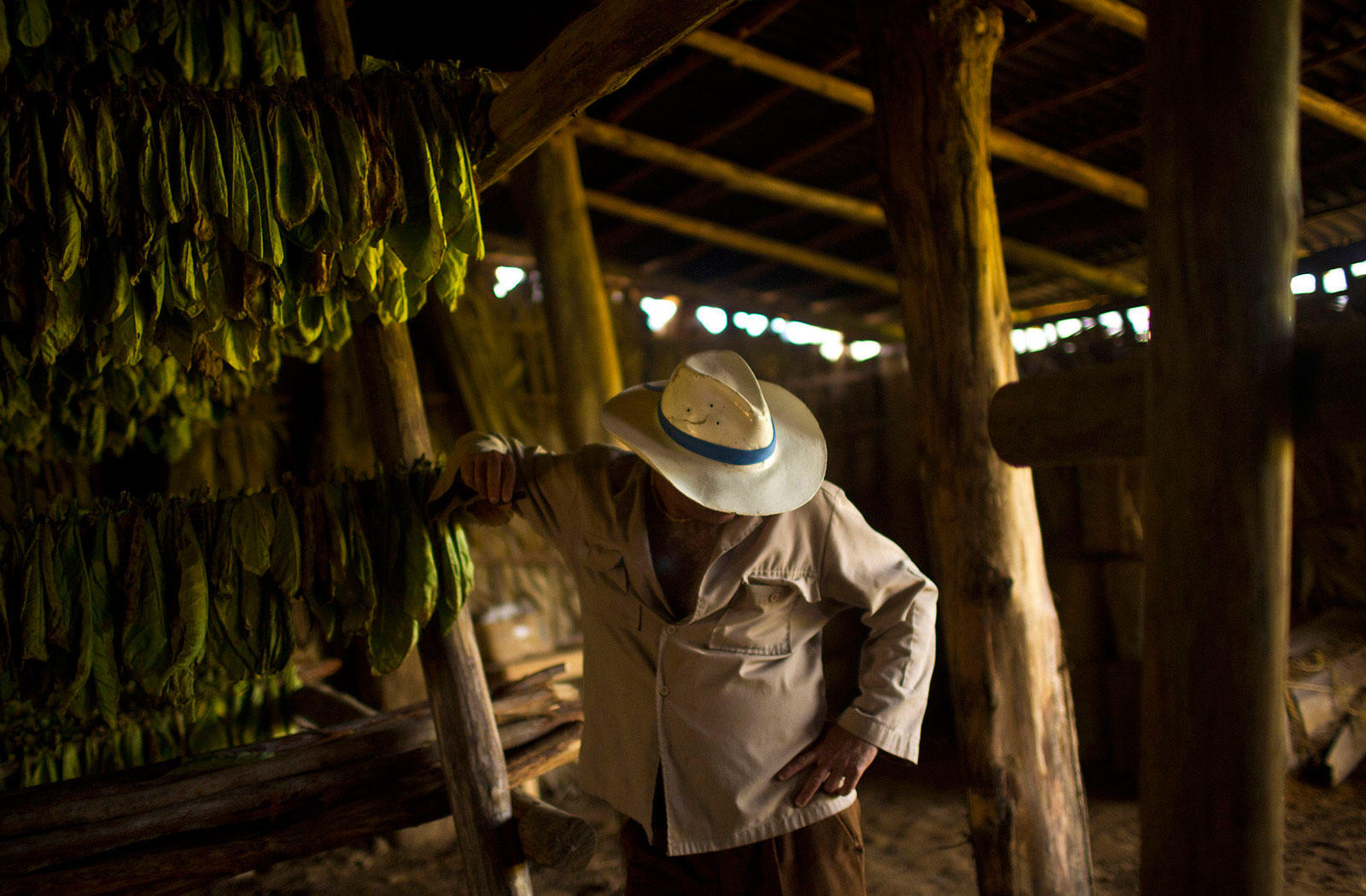 Harvested tobacco leaves hang in a shed on a farm in Vinales, Cuba\