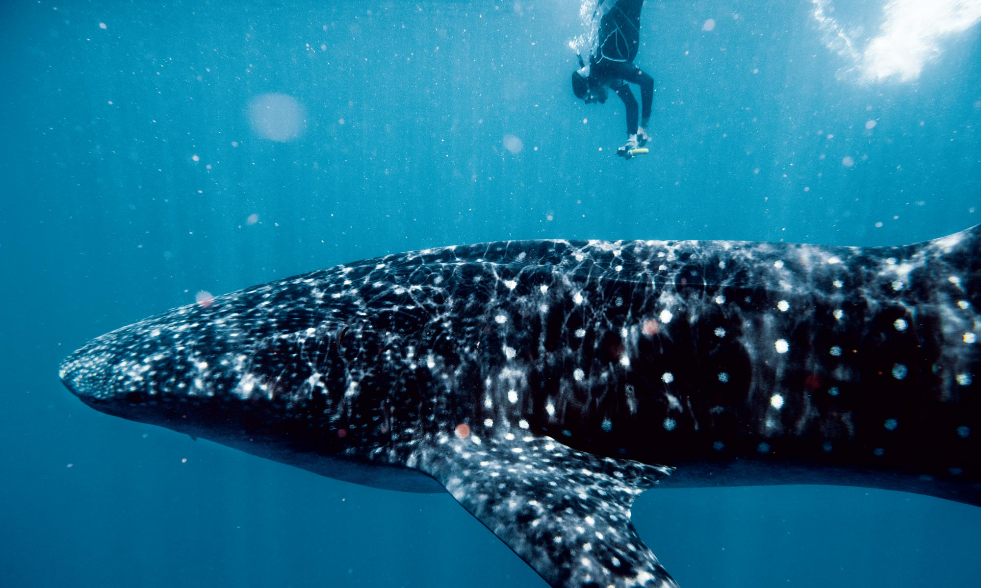 swimming with whale sharks is staggering scary and totally safe