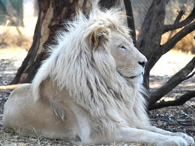 lion_modified.jpg